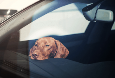 Missouri Pet Safety, the Law and How to Get Assistance for Pets Left in Hot Vehicles